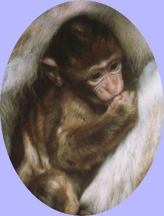 Ape-Baby